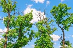 Coronas de árboles en fondo del cielo azul con las nubes Imagen de archivo libre de regalías
