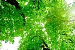 Coronas de árboles verdes con Sun y cielo ascendente Foto de archivo