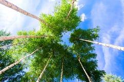 Coronas de los árboles de abedul altos en el bosque contra un cielo azul Foto de archivo
