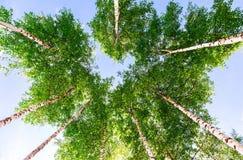 Coronas de los árboles de abedul altos en el bosque contra un cielo azul Fotografía de archivo