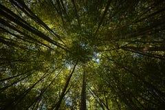 Coronas de los árboles de bambú Fotos de archivo