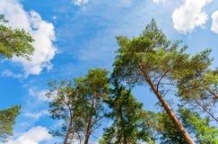 Coronas de los árboles de pino altos sobre su cabeza en el bosque Foto de archivo