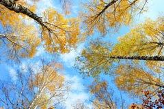 Coronas de los abedules del otoño Imagen de archivo