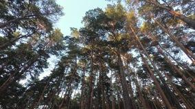 Coronas de pinos en el bosque almacen de metraje de vídeo