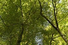 Coronas del árbol Imágenes de archivo libres de regalías
