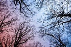 Coronas del árbol del resorte con las hojas viejas Imagen de archivo