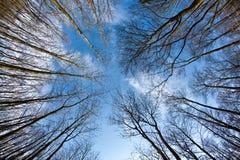 Coronas del árbol del resorte en el cielo azul profundo Imagenes de archivo