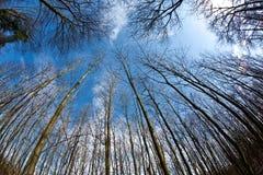 Coronas del árbol del resorte en el cielo azul profundo Foto de archivo libre de regalías