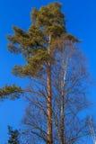 Coronas del pino y del abedul Imagen de archivo libre de regalías