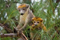coronatus lemur Madagascar zdjęcie stock