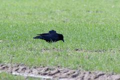 Corone Corvus κοράκων Carrion Στοκ φωτογραφία με δικαίωμα ελεύθερης χρήσης