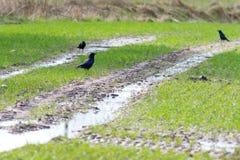 Corone Corvus κοράκων Carrion Στοκ εικόνες με δικαίωμα ελεύθερης χρήσης