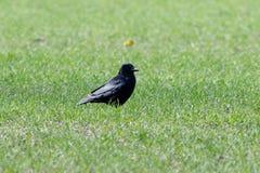 Corone de Carrion Crow Corvus Imagens de Stock