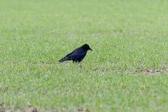 Corone de Carrion Crow Corvus Fotografia de Stock