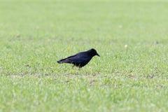 Corone de Carrion Crow Corvus Fotos de Stock Royalty Free