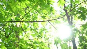 Corone degli alberi con il sole ed i raggi luminosi di pomeriggio