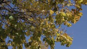 Corone degli alberi con il sole luminoso di pomeriggio e il ursa blackmagic mini 4,6k dei raggi archivi video