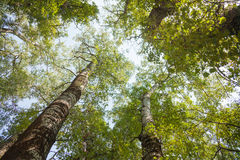 Corone degli alberi, vecchi alti pioppi Fotografia Stock
