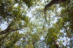 Corone degli alberi, vecchi alti pioppi Immagine Stock Libera da Diritti