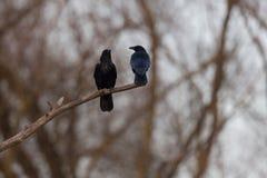 Corone del corvus de dos de carroña del cuervo pájaros del cuervo que se sienta en rama Foto de archivo libre de regalías