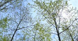 Corone di panorama degli alberi il cielo video d archivio