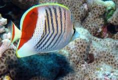 Corone los Butterflyfish, paucifasciatus de Chaetodon en el filón peligroso, imagenes de archivo