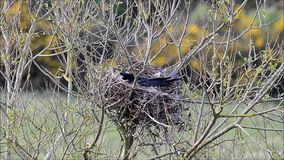 Corone van Corvus van de aaskraai op nest van stokken en koord stock footage