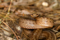 Coronella austriaca. Smooth snake, Coronella austriaca, between pine tree leaves stock image