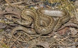 Coronella Austriaca - Smooth Snake Stock Image