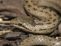 Coronella austriaca - smooth snake Royalty Free Stock Images