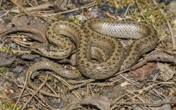Coronella austriaca - smooth snake. Sitting on moss Stock Image