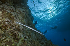 Coronetfish watches divers Stock Images