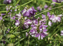 Coronila varia in botanical garden Royalty Free Stock Photo