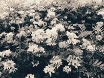 Coronilla varia fotografering för bildbyråer