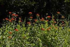 Coronsria floreció en un claro del bosque Foto de archivo