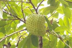 Corossol hérisse ou Guanabana Image libre de droits