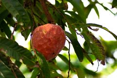Corossol m?r sur l'arbre de reticulata d'Annona image stock