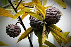 Corossol sur l'arbre Photo stock