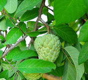 Corossols ou pommes cannelles sur l'arbre dans le jardin Photographie stock libre de droits