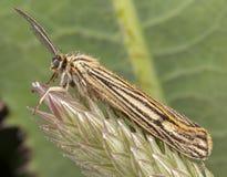 Corpi striati di Spiris Lepidottero maschio di Arctiinae che posa sulla foglia verde con le grandi antenne immagini stock