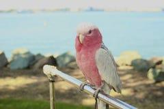 corpo completo bianco di rosa dell'uccello del parrocchetto e Fotografie Stock