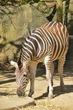 Corpo completo da zebra que pasta a grama seca dispersada na terra Fotografia de Stock