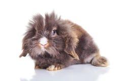 Corpo completo de um coelho bonito do coelho da cabeça do leão Fotos de Stock