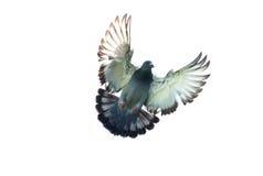 Corpo completo do backgrou branco isolado pairando de direção do pássaro do pombo fotos de stock