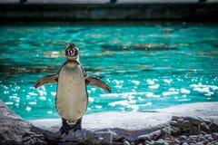 Corpo completo do pinguim disparado no jardim zoológico de Londres Imagens de Stock