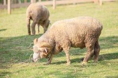 Corpo completo dos carneiros de merino masculinos que alimentam a grama verde no rancho vivo Fotografia de Stock Royalty Free