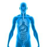 Corpo con gli organi Fotografia Stock
