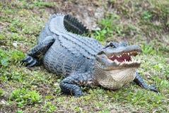 Corpo dell'alligatore americano Fotografia Stock Libera da Diritti