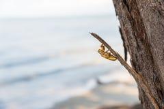 Corpo della cicala del primo piano sull'albero con il fondo dello spazio della copia Fotografie Stock