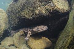 Corpo disparado da salamandra gigante japonesa fotografia de stock